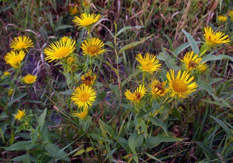 Девясил – доступное лечебное растение