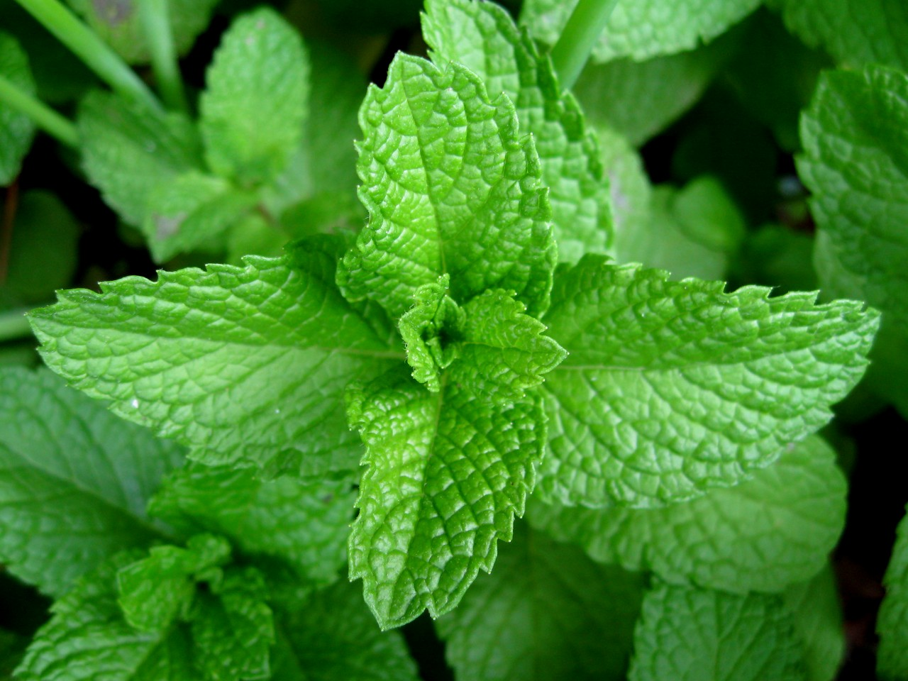 Peppermint was first described in 1753 by Carl Linnaeus from specimens that had been collected in England he treated it as a species but it is now universally